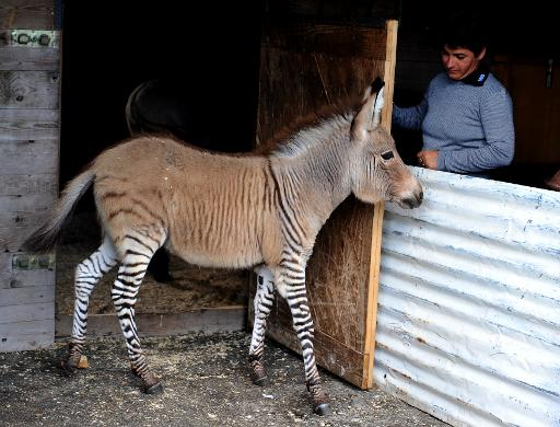 Ippo, a three month old zonkey, a cross between a zebra and a donkey, is seen in its pen at an animal shelter in Florence, on October 11, 2013 © AFP/File Tiziana Fabi
