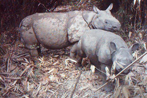 rarest rhino