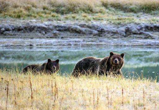 protection du grizzly