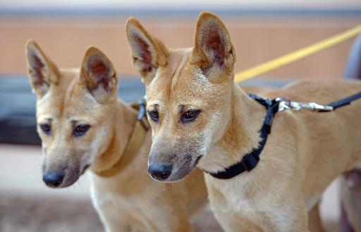 Fears for dingoes as Australia's wild dog faces extinction ...