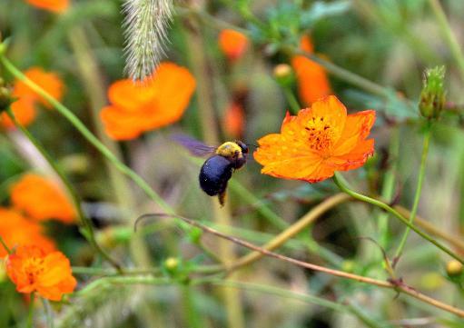 pollinisation par les abeilles