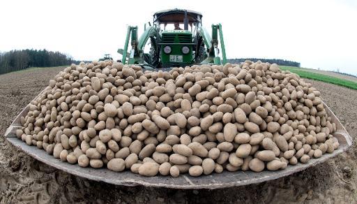 GM potato
