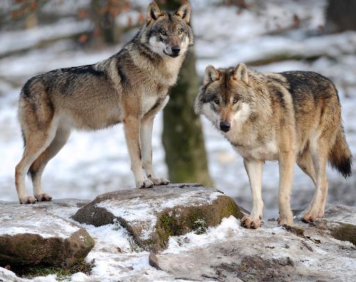 loup abbatu