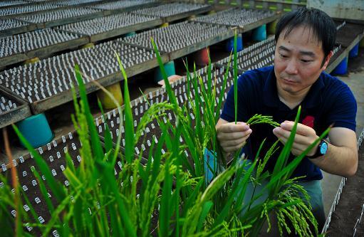 wonder rice gene