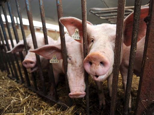 extension de porcheries