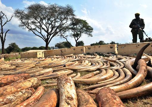 Un ranger kényan se tient près d'une saisie de défenses d'éléphants victimes de braconnage, le 23 août 2013 à Nairobi © AFP/Archives Tony Karumba