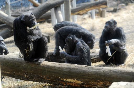 The Non Human Rights Project want chimpanzees to be given the right to freedom © AFP/File Rie Ishii