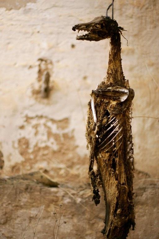Daimiel, Espagne: le corps d'un lévrier pendu par le coup dans une maison abandonnée près de Daimiel est photographié en janvier 2006. © AFP PHOTO/Pedro ARMESTRE.