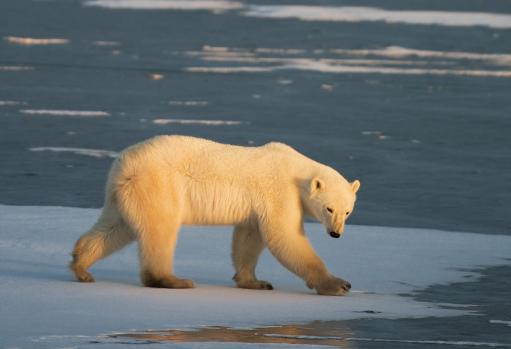 The United States, Canada, Russia, Greenland and Norway host a global population of 20,000 to 25,000 polar bears © AFP/File