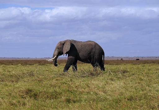 """Le fonds mondial pour la nature (WWF) a appelé mercredi à Paris, à la veille du Sommet de l'Elysée pour la paix et la sécurité en Afrique, à agir urgemment contre """"le braconnage industriel"""" des éléphants, déplorant que l'accord conclu mardi au Botswana engage peu de pays. © AFP/Archives Tony Karumba"""