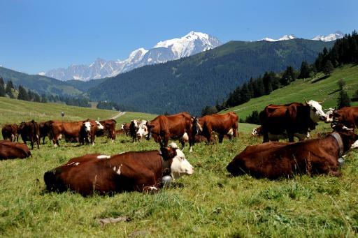 Troupeau de vaches de race Abondance le 21 août 2013 dans un pré de La Clusaz, dans le massif du Mont Blanc, où est produit le fromage AOC Abondance © AFP/Archives Jean-Pierre Clatot