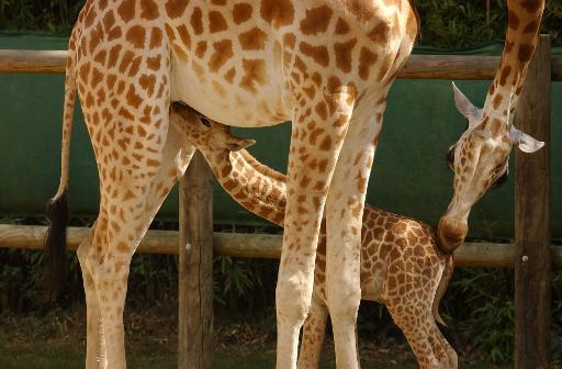 Niger's giraffe population
