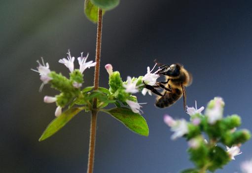 déficit d'abeilles