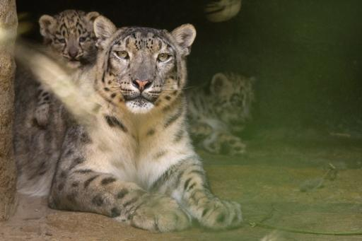 Idian snow leopards