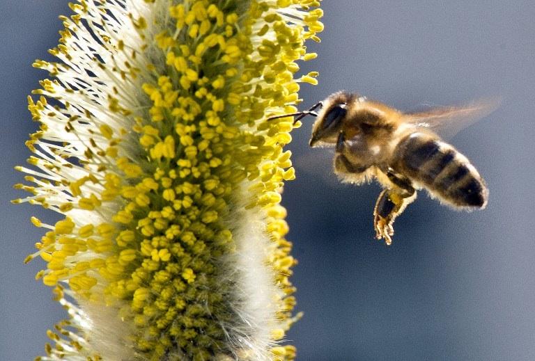 Francfort, Allemagne : une abeille butine sur un saule près de Francfort en Allemagne. ©  AFP PHOTO / BORIS ROESSLER GERMANY OUT