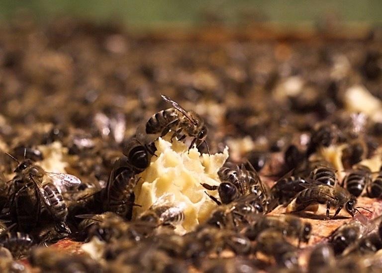 FRANCE, Saint-Loup-Terrier : Des abeilles se nourissent du miel contenu dans les alvéoles de cire d'un cadre de ruche, le 02 juillet 2001 dans le rucher école de la Cour du Roi à Saint-Loup-Terrier. Le rucher école sert à l'apprentissage de l'apiculture lors de stages proposés par l'Office du tourisme des Ardennes.