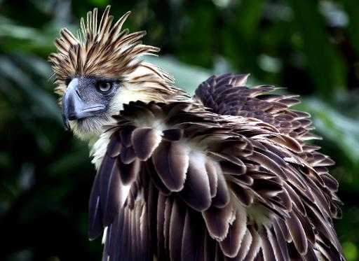 A seven-year-old Philippine eagle (Pithecopaga jefferyi) is pictured at the Philippine Eagle Center (PEC) on the outskirts of Davao City, on the southern island of Mindanao, on April 9, 2011 © AFP/File Jason Gutierrez