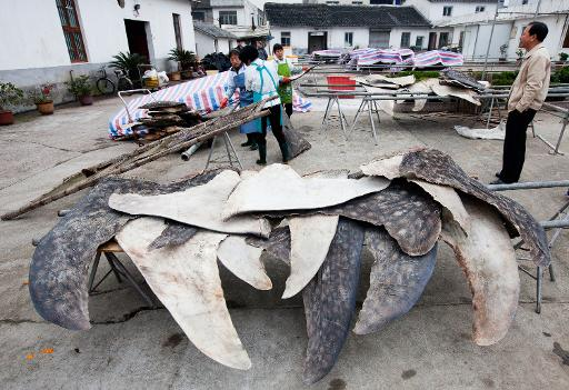 This undated photo released on January 27, 2014 by conservation group WildLifeRisk shows whale shark fins being dried and stacked for export in Pu Qi in China's Zhejiang province © WildLifeRisk/AFP