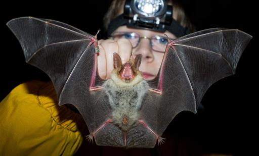 A Greater mouse-eared bat in Frankfurt, Germany, on January 17, 2014 © DPA/AFP/File Patrick Pleul
