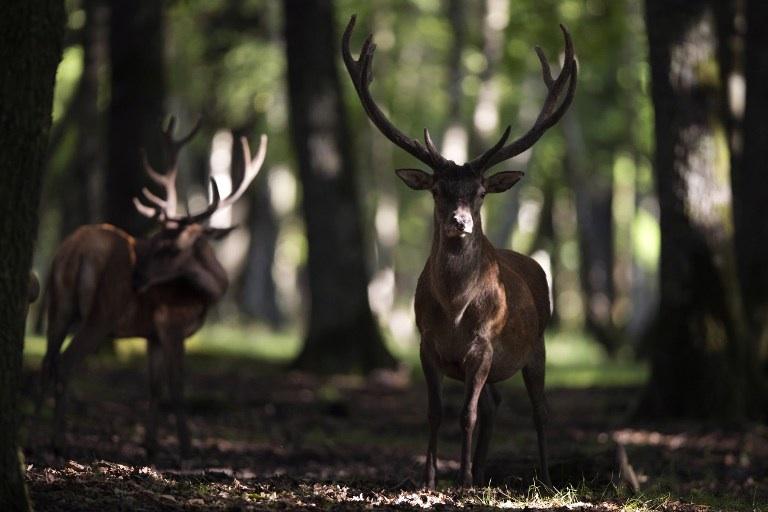 FRANCE, Rambouillet : A deer roams in the Rambouillet forest reserve, on July 31, 2013, some 50 kms outside of Paris. AFP PHOTO / JOEL SAGET