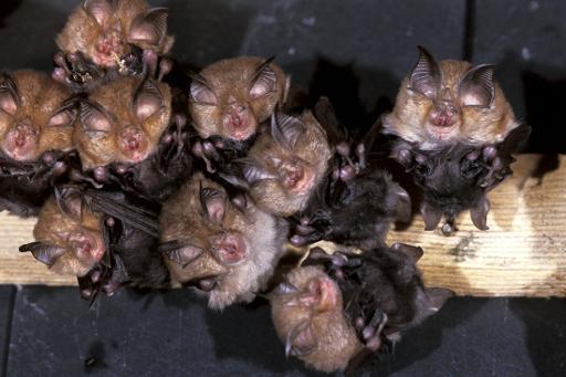 Les chauves-souris sont de retour en Europe après des décennies de déclin: une étude portant sur 16 des 45 espèces présentes sur le continent montre une augmentation de plus de 40% entre 1993 et 2011, indique jeudi l'Agence européenne de l'environnement (AEE). © AFP/Archives Christian Koenig