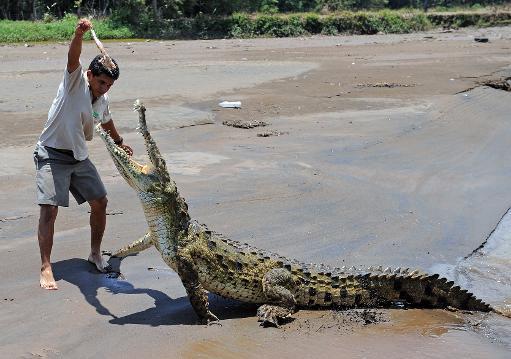 Un homme nourrit un crocodile sur les rives de la rivière Tarcoles, au Costa Rica le 15 mai 2008 © AFP/Archives Yuri Cortez