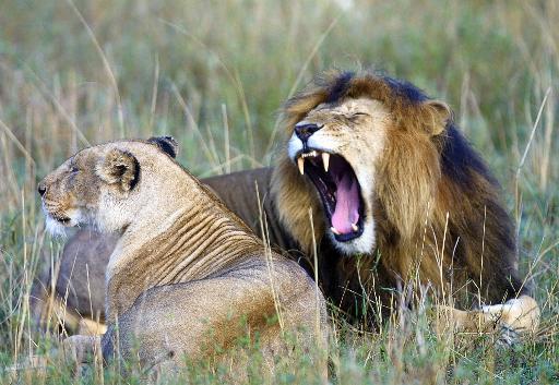 disparition des grands carnivores
