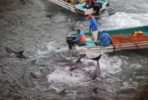 Bottlenose dolphins are trapped in a cove before being caught and killed by Japanese fishermen in the town of Taiji, January 20, 2014 in this photo by environmentalist group Sea Shepherd Conservation Society © Sea Shepherd Conservation Society/AFP