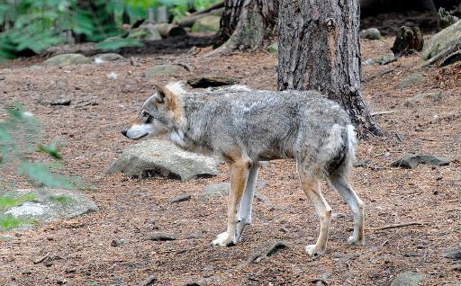 chasse au loup