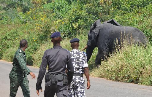 Capture d'un éléphant lors d'une opération de déplacement le 21 janvier 2014 à Daloa en Côte d'Ivoire © AFP Sia Kambou
