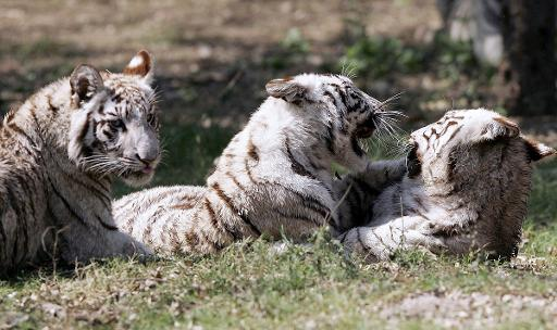 White tiger cubs play in their enclosure at the Zoological park in New Delhi, on March 3, 2007 © AFP/File Manan Vatsyayana