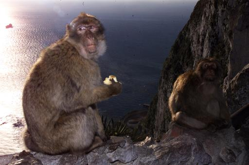 Two macaque monkeys in Gibraltar on February 10, 2000 © AFP/File Christophe Simon
