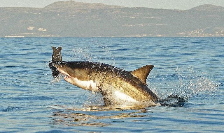 Afrique du Sud : un grand requin blanc est photographié en plein attaque de phoque au large de False Bay en Afrique du Sud. © AFP PHOTO/Carl de Souza