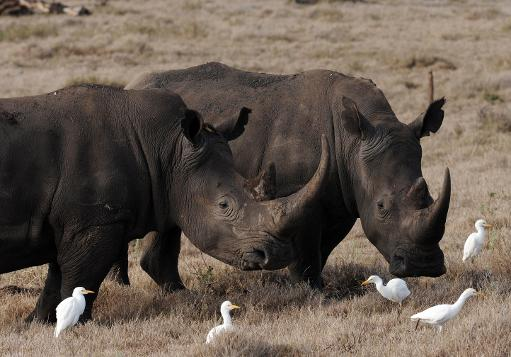 Two male rhinos at the Lewa Wildlife Conservancy on December 10, 2010 © AFP/File Roberto Schmidt