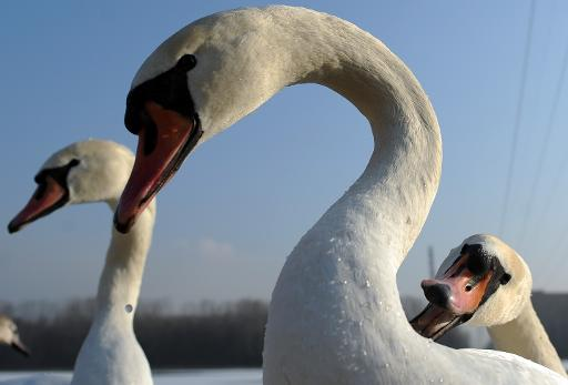 Swans are pictured on a lake in Slovakia on December 29, 2010 © AFP/File Samuel Kubani