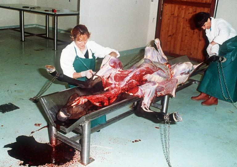 FRANCE, Goustranville : Claire Collobert (G) vétérinaire inspecteur, pratique des autopsies sur des chevaux malades, le 02 aôut 1988, à l'Institut de pathologie du cheval à Goustrainville. Ce centre de recherche unique en France s'intéresse surtout aux épidémies, ses cobayes équins lui permettant de pratiquer des essais de vaccins et de mettre au point des méthodes de dépistage.  © AFP