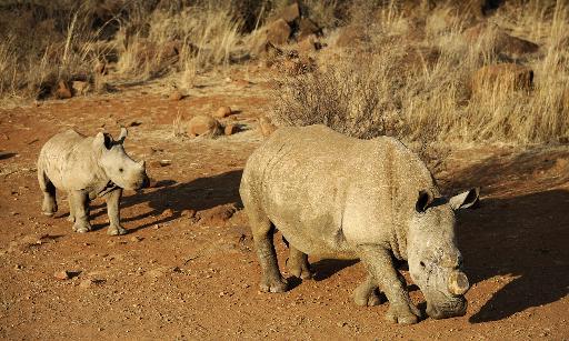 rhinocéros braconnés