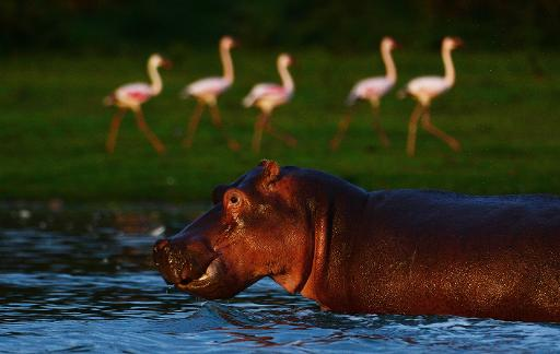 hippopotam