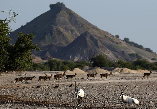 Des oryx (au premier plan) sur l'île de Sir Bani Yas, aux Emirats arabes unis, le 27 novembre 2014 © AFP Karim Sahib