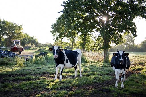vaches roter