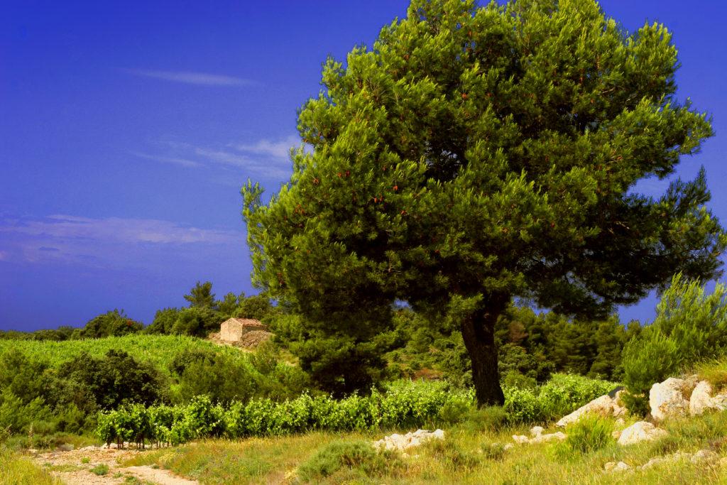 Vignes et Pins sur la commune de La Livinière, Languedoc-Roussillon, France © Deschamps