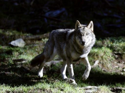 Un loup dans le parc du Mercantour à Saint-Martin-Vésubie, dans les Alpes-Maritimes, le 13 novembre 2012 © AFP/Archives Valery Hache