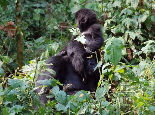 rdc gorilles