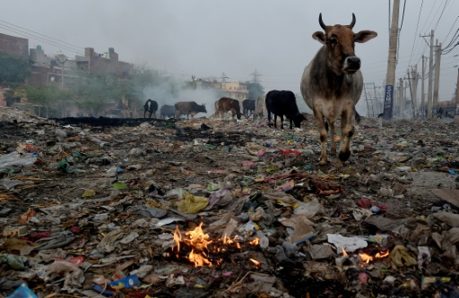 Des vaches cherchent de la nourriture le 18 f´vrier 2015 dans une décharge d'ordures de Faridaba, une banlieue de New Delhi, la capitale indienne, une ville fortement polluée © AFP/Archives MONEY SHARMA