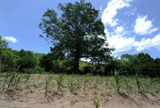 Un champ de maïs à Texiguat, au sud-est de Tegucigalpa le 26 juillet 2015  © AFP Orlando Sierra