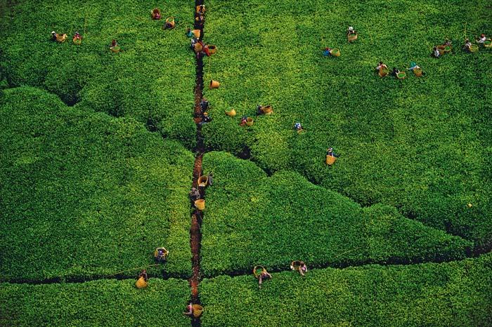 Cueillette du thé, région de Kericho, Kenya (0°24' S – 35°16' E).  TEA PLANTING, KERICHO REGION, KENYA (0°22' S, 35°16' E).