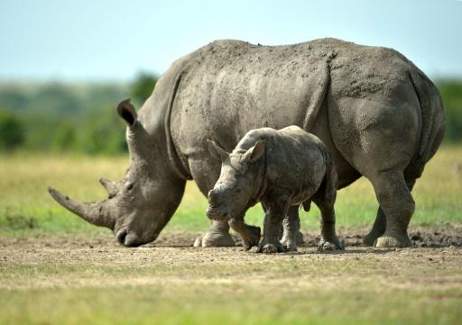 les leveurs sud africains de rhinos r clament de vendre. Black Bedroom Furniture Sets. Home Design Ideas