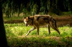 abbatage loups