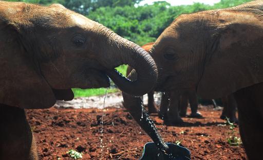 Des éléphanteaux orphelins s'abreuvent dans une réserve à Nairobi, le 22 juin 2015 © AFP/Archives SIMON MAINA