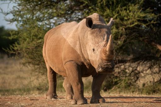 corne de rhinoceros
